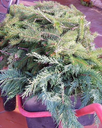 different varieties of pines