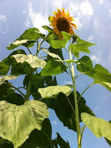 Mammoth sunflowers, 14 ft. 09-03-11