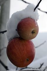 弘前市 Hirosaki City, Frozen apples