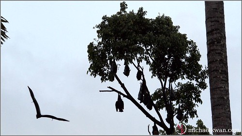 Colony of Giant Bats