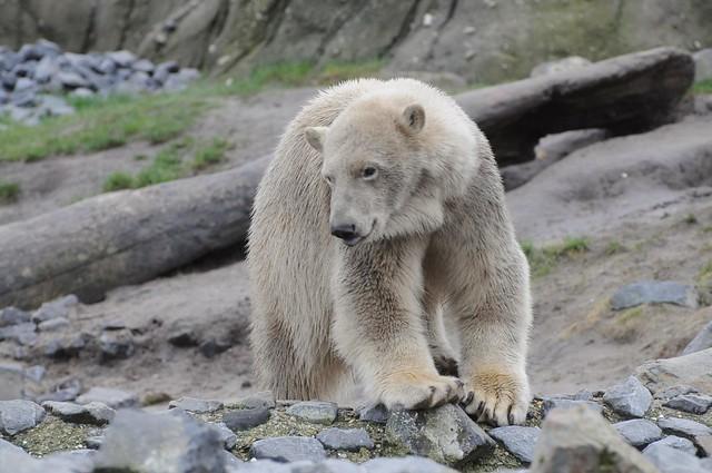 Eisbär Vicks im Diergaarde Blijdorp in Rotterdam