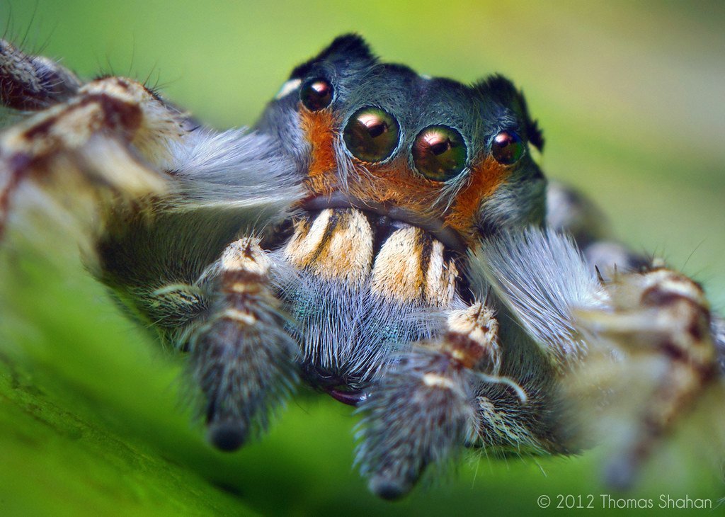 Portrait of an Adult Male Phidippus putnami Jumping Spider