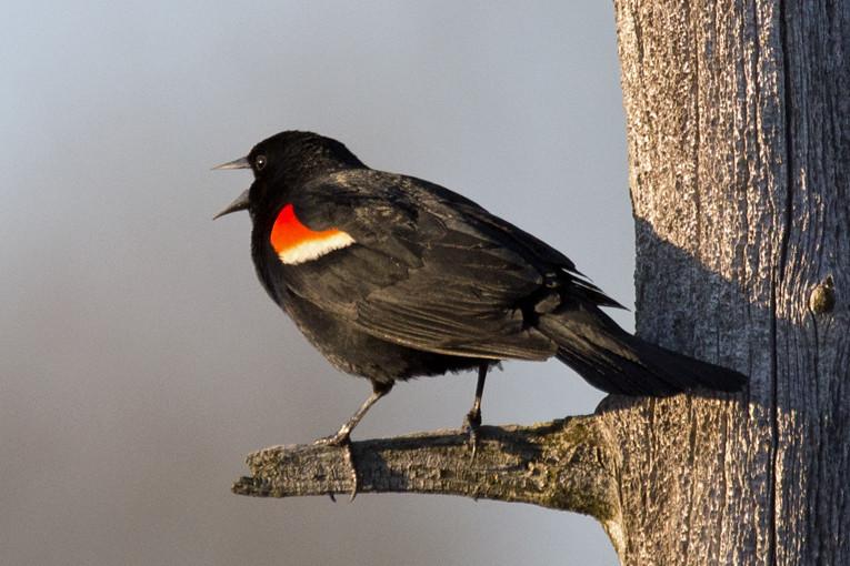 _DSC8012 Red-Winged Blackbird (m)