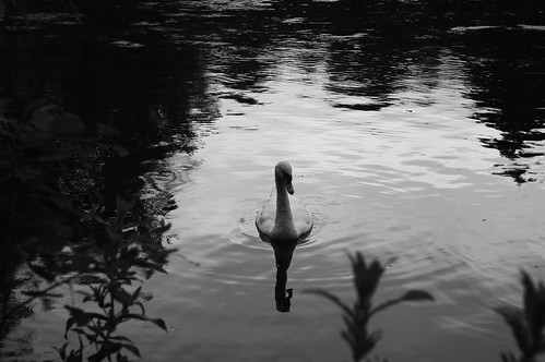 20110625-13b_Swans - Ryton  Pools (B+W) by gary.hadden