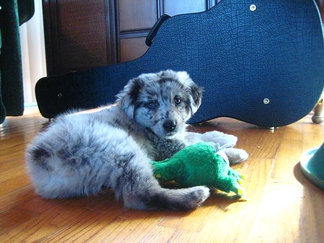 What's better than an Aussie puppy?
