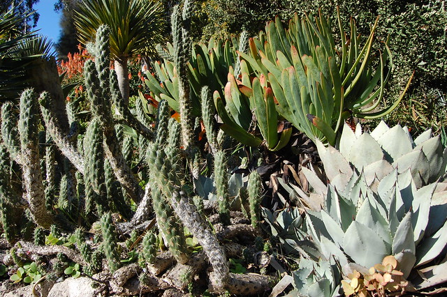 Agave parryi var. parryi mescal and friends