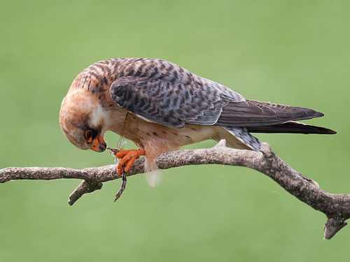 Red-footed Falcon eating dragonfly