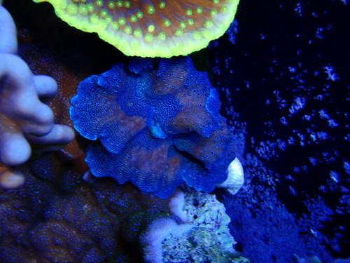 Blue Crocea Clam (tridacna maxima)