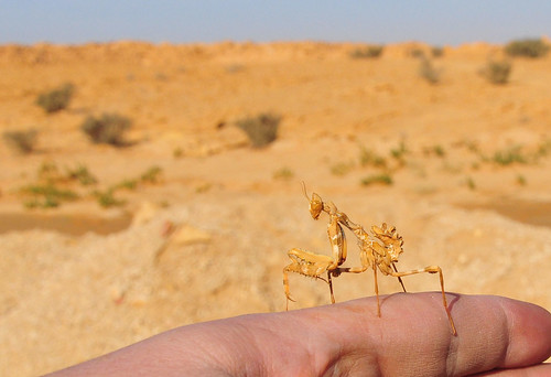 Ameles in Saudi Arabia by cliffordjol
