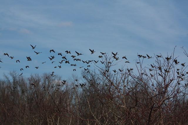 The geese fleeing us, 3