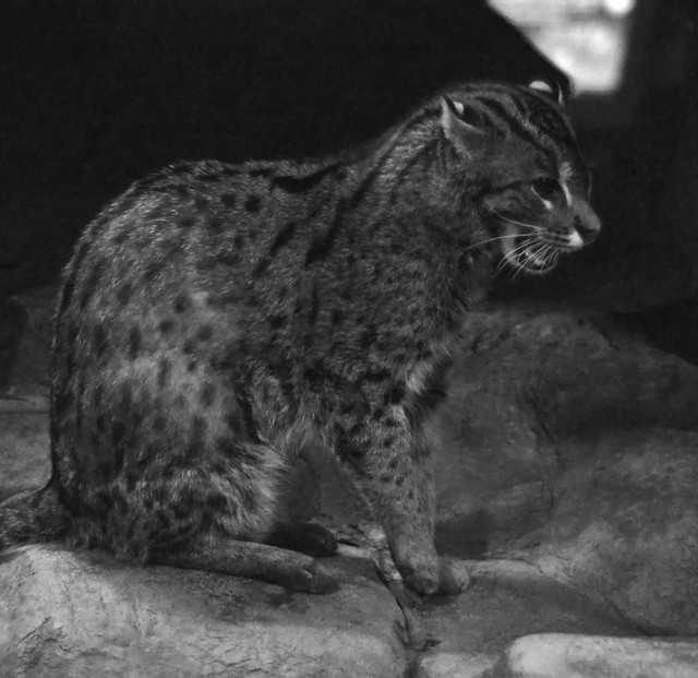 Black & White Fishing Cat