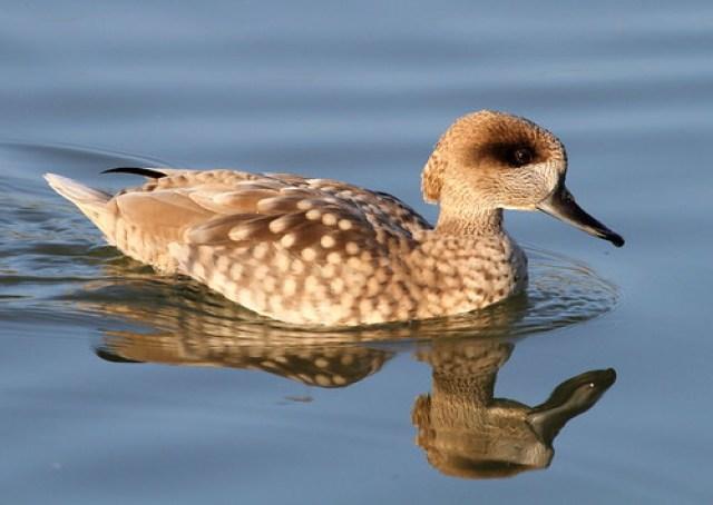 2012_01_28 TD - Marbled Duck (Marmaronetta angustirostris)