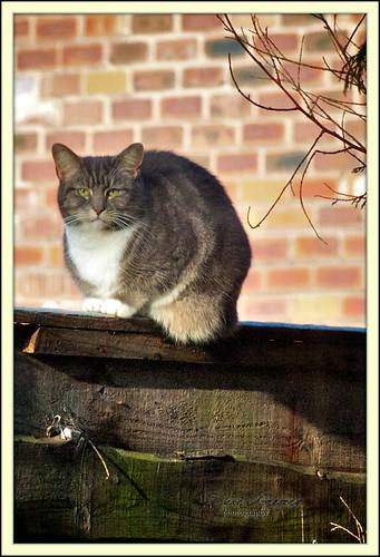 ollie cat