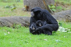 Siamangs im Zoo de Trégomeur