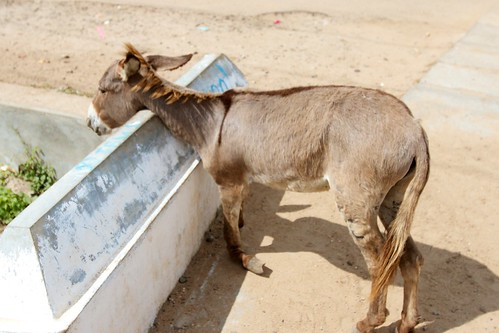 A poor donkey with a broken hoof