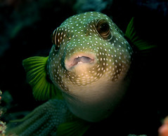 45_adj_DSC3623 pufferfish