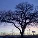 HO_sunrise_oak