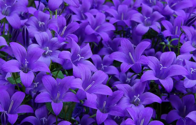 In purple bloom
