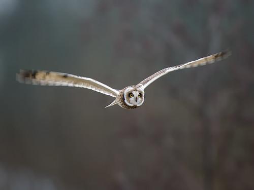 Short-eared Owl-winter