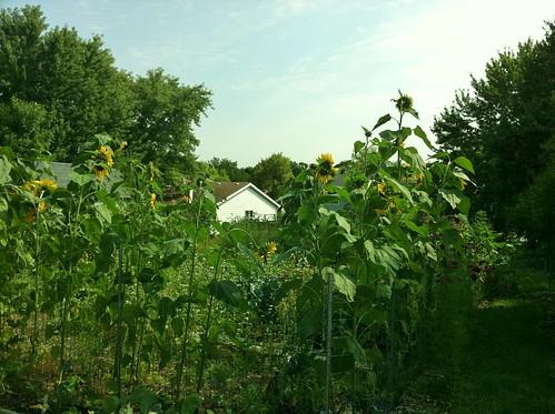 Sunflower sentinels surround the No Rabbits Allowed! Garden 09-03-11