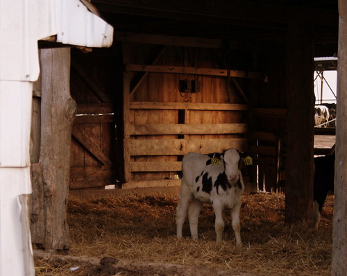 Calf in Lower Barn