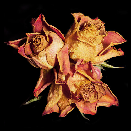 Trio of Wilted Roses