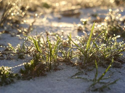Grassy Snow by Jason A. Samfield