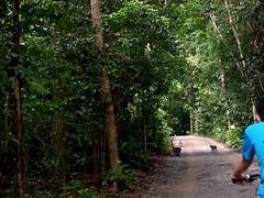 Monkeys. Pulau Ubin