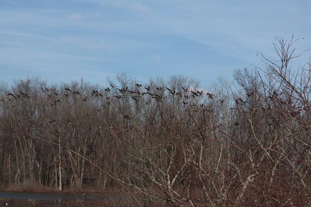 The geese fleeing us, 2