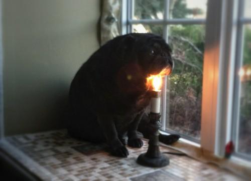 pug light