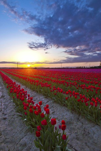 Skagit Valley Tulips aglow by i8seattle