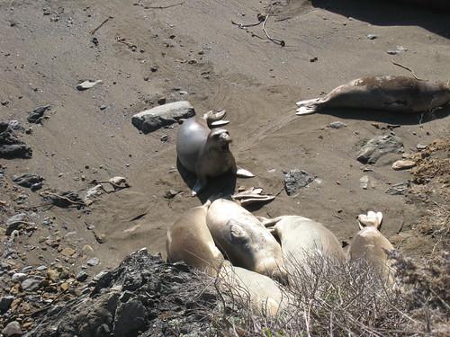 2011_12_24_d_elephant-seals