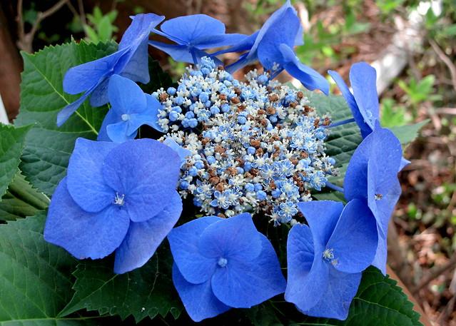 blue lacecap