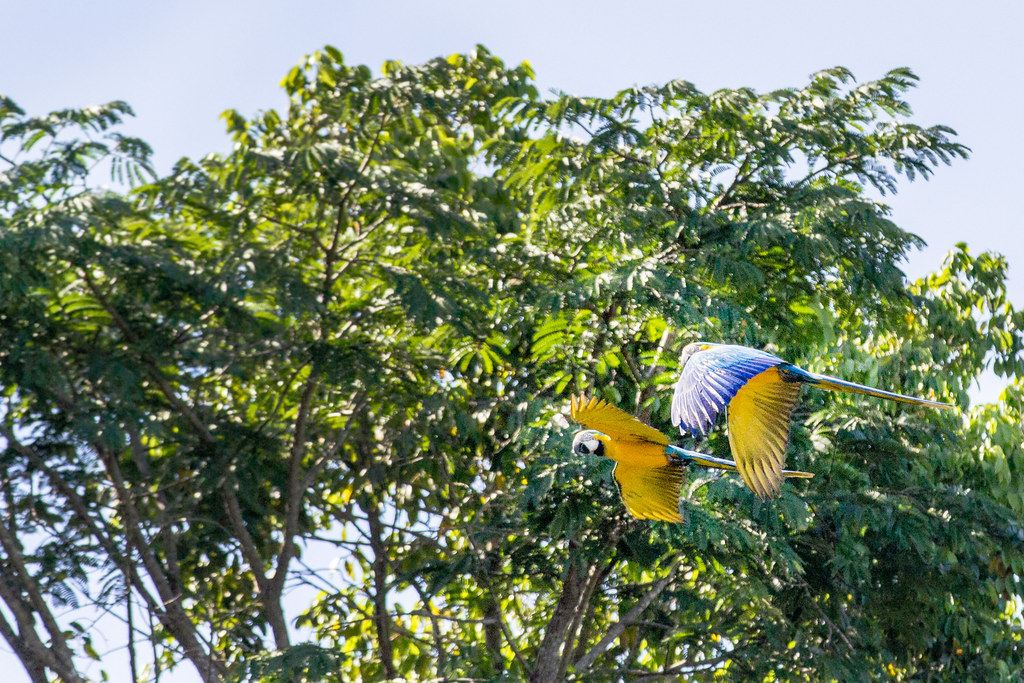 blue-and-yellow macaws