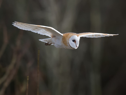 Barn Owl winter_2