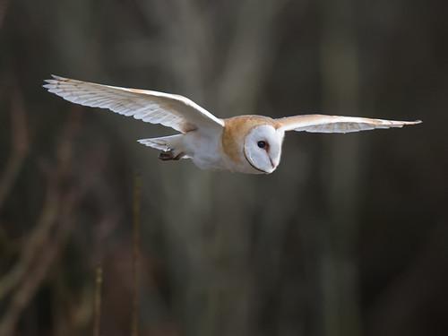 Barn Owl winter_2