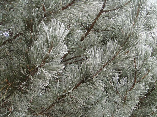 PineFrost
