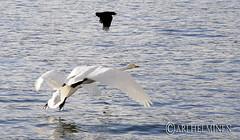 十和田湖 Lake Towada Swan