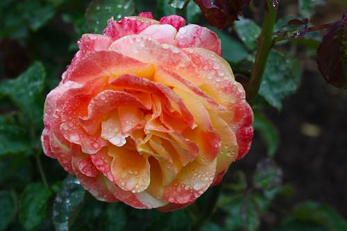 "Another Rose For My FLicker Friends xoxoxoxoxoxoxoxox... by MICHELLE ~ BLACKY ~ CHAMPAZ, PHOTO""S.."