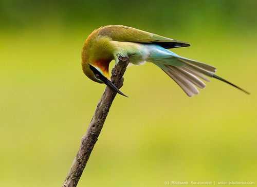 Blue-Tailed Bee-Eater (Merops philippinus) by Madhawa