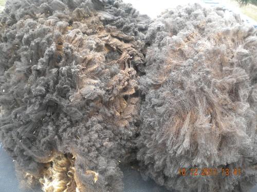 Ewe fleece 2011