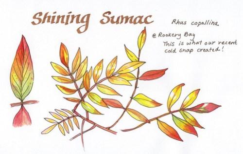 Shining sumac