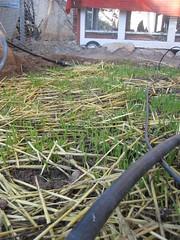 growing Barley - 3
