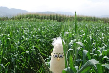 Wheat under CA