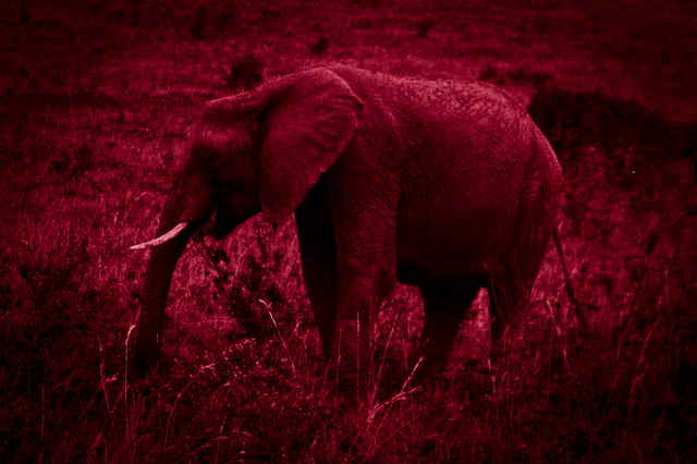 Kenyan Elephants! (2)