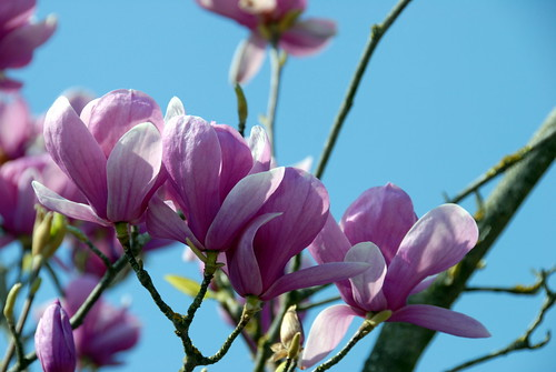 Arbres en fleurs HD-009