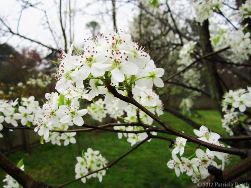 Bradford Pear Tree Blossoms by pixygiggles