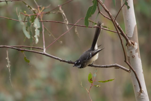Grey Fantail 2012-03-25 (_MG_5118)
