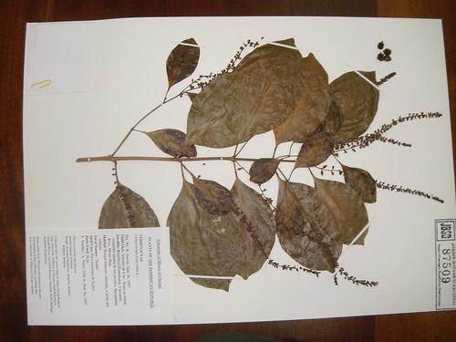 Citharexylum fruticosum