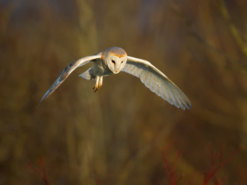 Barn Owl-evening hover